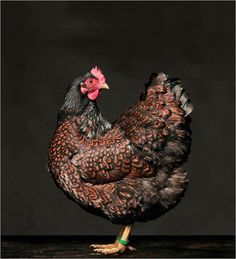 ***PORTRAITS OF HENS AND ROOSTERS***