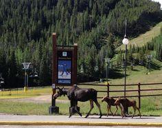 Moose at Keystone, Colorado this morning! #colorado #keystone