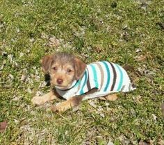 Mollie is an adoptable Yorkshire Terrier Yorkie Dog in Christiana, TN. Mollie is an 8 week old yorkie/beagle mix. Crate and housetraining has already been started