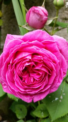 "Rosa ""Mme Isaac Pereire """