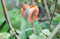 Artist Tulip purchased from Sarah Raven in her Super Perennial Tulip Collection