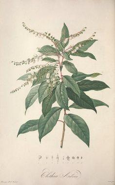 lily of the valley tree - Jardin de la Malmaison