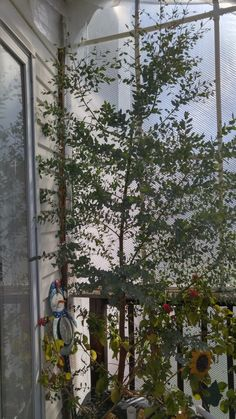 """In the greenhouse...March 27, 2016  This is a eucalyptus """"tree"""" that I bought as a small herb last summer at the farmers market. We brought it into the greenhouse and wintered it over It grew to the top of the greenhouse."""