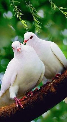 white doves---End pigeon cruelty! Pretty Birds, Love Birds, Beautiful Birds, Animals Beautiful, Cute Animals, White Doves, White Gardens, Mundo Animal, All Gods Creatures