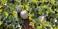 🍈🌿🌸 Πεπόνι, ένα από τα αγαπημένα φρούτα του καλοκαιριού. Και είναι πάντα πιο νόστιμο από τον κήπο μας! Φυτεύουμε πεπόνια και μαθαίνουμε τα μυστικά για να τα απολαμβάνουμε γεμάτα γεύση και άρωμα.