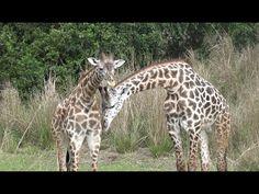 ºoº WDW 実際にサファリが楽しめるアニマルキングダムのキリマンジャロ・サファリ Kilimanjaro Safaris at Animal...