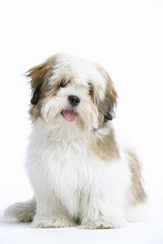 Lhasa Apso - saw one of these the other day all cuddled up in a girl's lap while she sat in a stroller.  looked like a big teddy bear.  <3 <3
