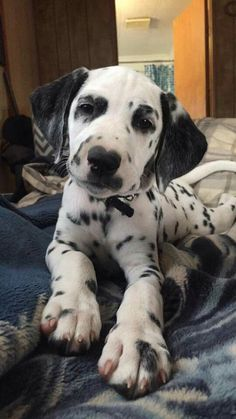 Dalmatian Puppy … The Animals, Cute Baby Animals, Cute Dogs And Puppies, Doggies, Spotted Dog, Dalmatian Dogs, Cute Friends, Cute Creatures, Animals Beautiful