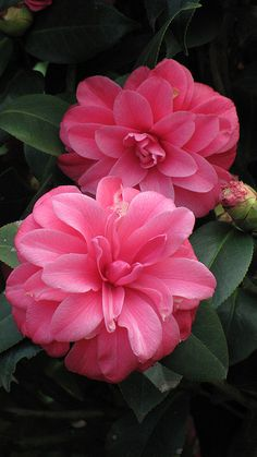 Camellia * Flores - Blog Pitacos e Achados - Acesse: https://pitacoseachados.com – https://www.facebook.com/pitacoseachados – https://plus.google.com/+PitacosAchados-dicas-e-pitacos https://www.h2h.com.br/conselheirapitacosachados #pitacoseachados