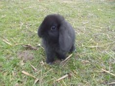 black baby bunnies | baby rabbit £ 25 posted 1 month ago for sale rabbits mini lop black ...