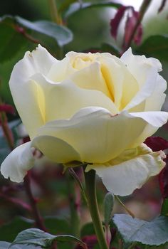 'Peaudouce' - Hybrid Tea Rose | Flickr - @ Clara Johnson