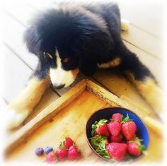 Someone is waiting patiently for a berry! Cold Pressed Juice, Berry, Waiting, Bury