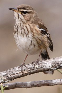 White-browed Scrub Robin, Erythropygia leucophrys, via Flickr.