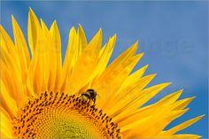Edith Albuschat - Sonnenblume vor blauem Himmel