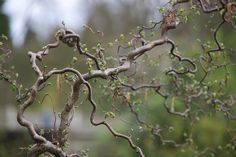Corkscrew Hazel (Corylus 'Contorta') in spring Corkscrew Hazel, Garden News, Garden Gifts, Outdoor Plants, Four Seasons, Shrubs, Design Inspiration, Landscape, Spring