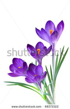 Crocus flower in the spring isolated on white by Le Do, via ShutterStock