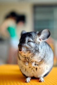 I love this sleepy grey chinchilla. He reminds me of my chinchilla Mr Fluffy when he falls asleep standing up. So cute.