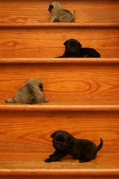 Climbing lessons for baby pugs