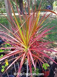 Dracaena marginata Tricolor - Colorama, Money Tree  Click to see full-size image