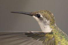 Hummingbird wing