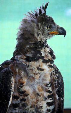 Aigle couronné // Crowned Eagle