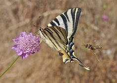 Competition Winning Images Of Life On Earth - First place in the Community, Population and Macroecology category went to Michael Siva-Jothy for his shot of a Scarce swallowtail and a Polistine wasp converging on a Scabius flower.