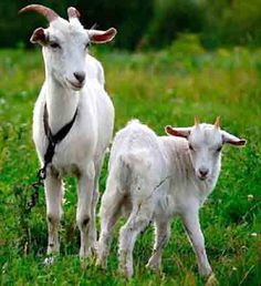 russian white goat, russian white goats, about russian white goat, russian white. russian white go Farm Animals, Animals And Pets, Cute Animals, Cabras Saanen, Goat Care, Selective Breeding, Animal Science, Goat Farming, Goat Milk