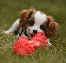 Embraced Cavalier King Charles Spaniel, Phelix. Click to learn the health dangers for this breed.