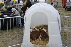 Ammuu! Tekirkin kävi tutustumassa Okra-maatalousnäyttelyyn Oripäässä 5.7.2012. Kuva: okramaatalous.fi Nuortakin väsyttää / Bosse Fagerström