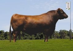 Grand Prix 102 - Red Angus