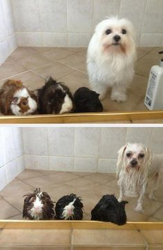 funny photos, dog and guinea pigs before and after a bath all wet