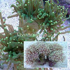 Torch Coral (Euphyllia glabrescens) Nano Reef Tank, Hard Coral, Brine Shrimp, Water Movement, Reef Aquarium, Water Quality, Stony, Tentacle, Lps