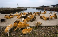 An army of cats rules the remote Aoshima island in southern Japan's Ehime prefecture. Curling up in abandoned houses or strutting about in a fishing village that is overrun with felines outnumbering humans six to one.