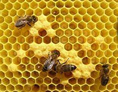 """A menudo podemos ver como en la naturaleza también hay figuras geométricas. Es curioso porque éstas lo hacen por naturaleza, están """"programadas"""" para crear este tipo de formas. En la imagen, hexágonos en panales de abejas."""
