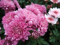 El crisantemo, la flor más bella del jardín otoñal