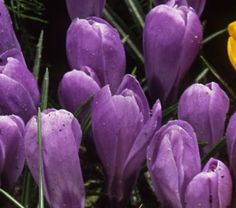 f646d562ced217 An heirloom Dutch hybrid dating to Crocus vernus  Remembrance  has rounded  blooms in a lovely violet color highlighted with a silvery gloss.
