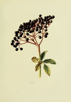 - Wild fruits of the country-side, - Biodiversity Heritage Library Gravure Illustration, Plant Illustration, Botanical Illustration, Vintage Botanical Prints, Botanical Drawings, Botanical Art, Elderberry Plant, Impressions Botaniques, Illustration Botanique