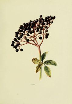 Sureau noir - sambucus nigra - fruits sauvages campagne