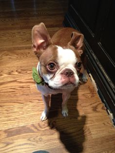 My red Boston Terrier, Mary.