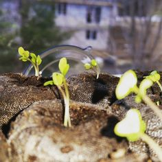 Broccoli is up!  #gardening #HealthyFood #eatnatural #urbangardening #organicfood #sustainability #seedaddict #growyourownfood #growsomethinggreen Re-post by Hold With Hope