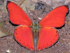 Google Image Result for http://yoursafariexpert.com/photo1/Albums/Album1/Large/P8062238_Red_butterfly.jpg