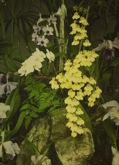 Charles Corbet, Yellow orchids - c. 1910, autochrome 12 x 9