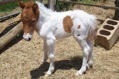picturesofminiaterhorses - Google Search