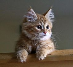 Finnegan, the hypoallergenic Siberian Forest cat. Adorable in every way!