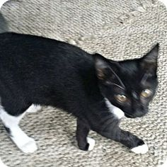 Cherry Hill, NJ - Domestic Shorthair. Meet Miss Besley, a kitten for adoption… Facts about Miss Besley  Breed: Domestic Shorthair Color: Black & White Or Tuxedo Age: Kitten Sex: Female ID#: 10428309 Hair: Short