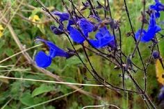 Buy Salvia sagittata