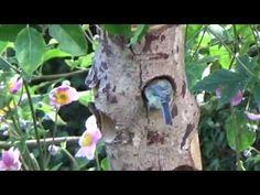 Fugle træstamme med fedtkugler i brug http://elverdan.dk/shop/product_info.php?products_id=354