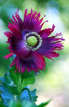 Heirloom Poppy - beautiful purple and vibrant green combination on this plant