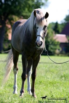 Guerrouane - Stallion Directory - Barb