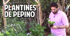 Estimados pepineros, hoy les escribo la segunda entrega de esta fascinante serie sobre el cultivo de pepinos. En esta publicación vamos a ...